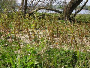 Début de pousse de la Renouée du Japon - Plantes invasives