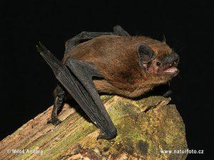 Pipistrelle commune – Pipistrellus pipistrellus