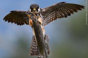 Faucon hobereau (Falco subbuteo)