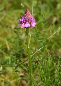 Orchidée sauvage - Orchis Pyramidal - Berges d'Aizier